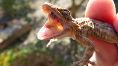 Photo of 8 Hygiene Routines for Gargoyle Gecko